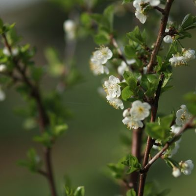 Fruit tree pruning and blossom