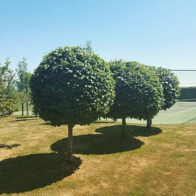 Topiary tree examples by Bath Garden Design