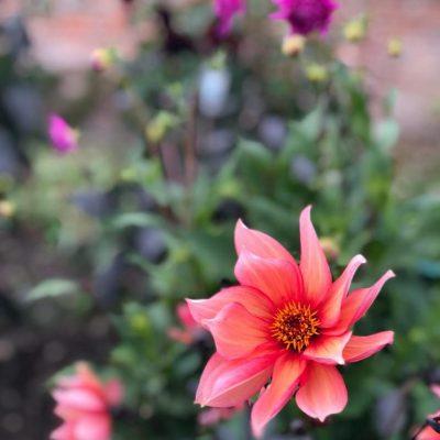Late summer Dahlia