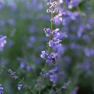 Beautiful purple perennial Nepeta
