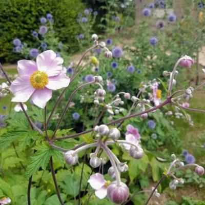 Late summer Anemone perennial planting by Bath Garden Design